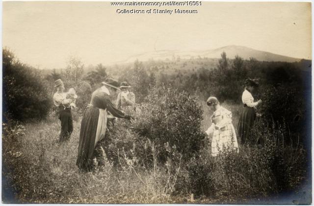 Blueberry picking, Kingfield, ca. 1901