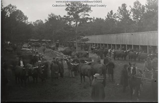 Fryeburg Fair Ox Teams