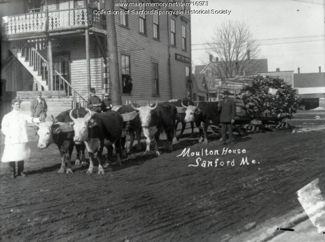 Oxen, Moulton House, Sanford