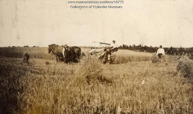 Harvesting wheat, New Sweden, ca. 1922
