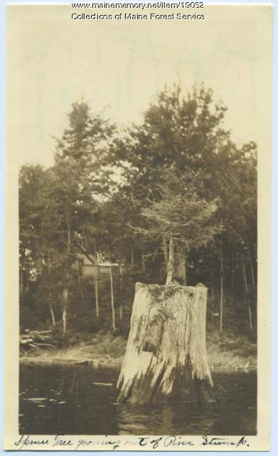 Spruce tree in pine stump, Pleasant Pond, 1922