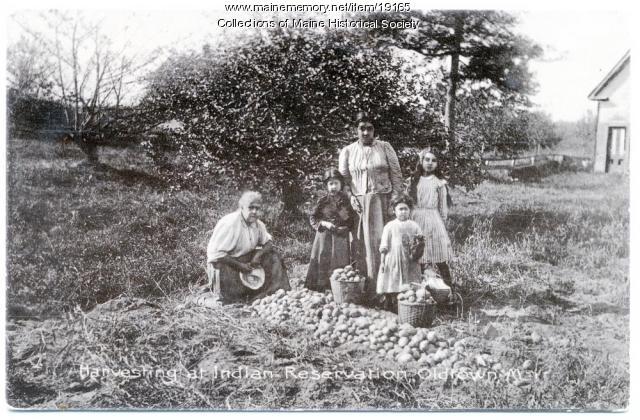 Penobscot women harvesting potatoes, Old Town, ca. 1909