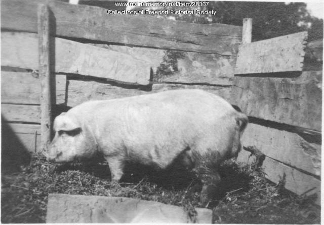 Pig in a pen, Pettengill Farm, Freeport, ca. 1920
