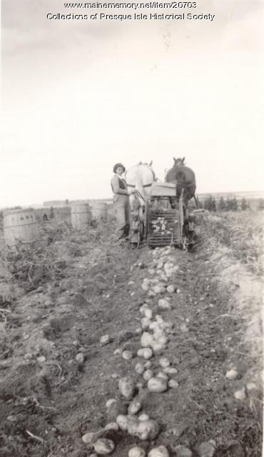 Picking potatoes, Presque Isle, 1939