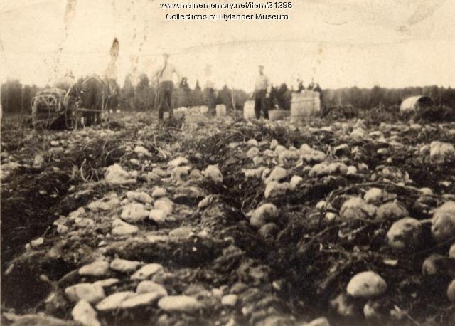 Potato harvest, Woodland, ca. 1922