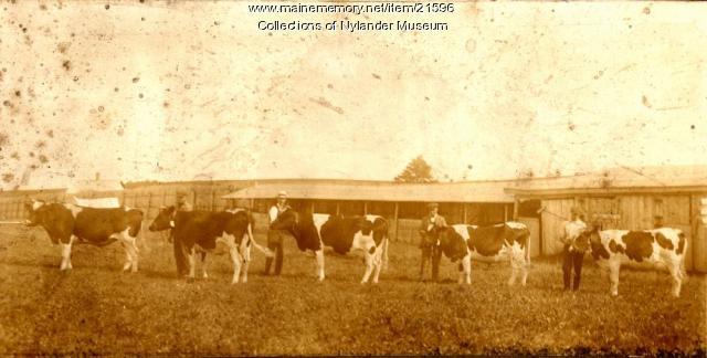 Holstein cows shown at Caribou Fair, ca. 1922