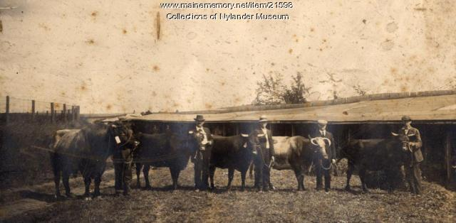 Beef cattle shown at Caribou Fair, ca. 1922