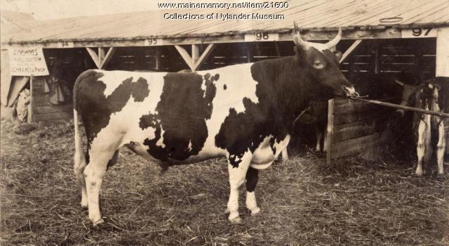 Holstein bull on show, Caribou Fair, ca. 1922