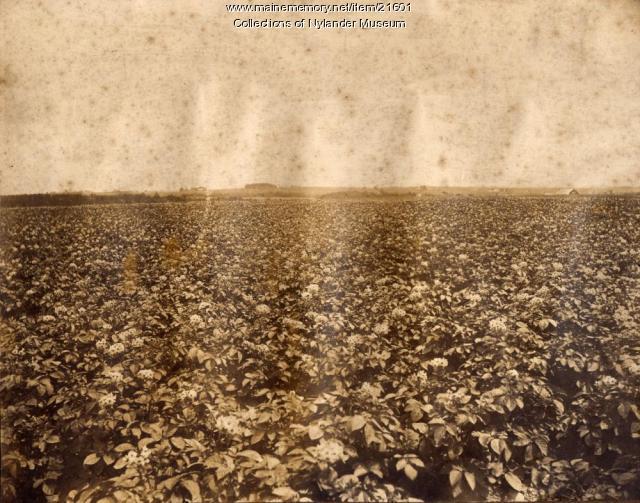 Potato field in bloom, Caribou, ca. 1922