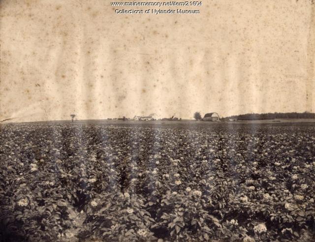Potato field in blossom, Caribou, ca. 1922