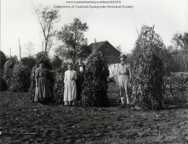 Drying Beans on the Farm, Sanford, ca. 1900