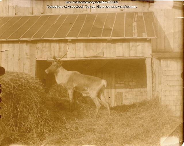 Caribou on Hemore farm, Ludlow, ca. 1895