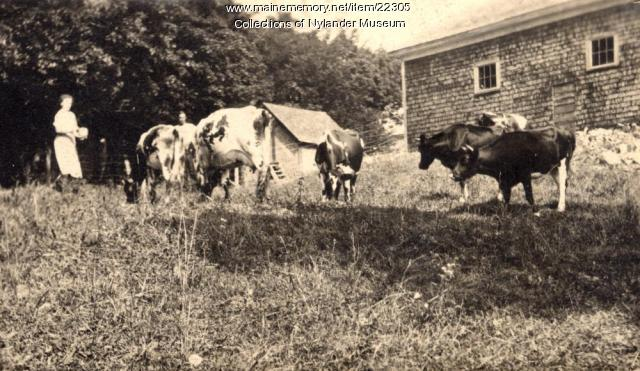 Dairy cattle, Woodland, ca. 1922