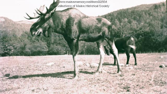 Cow and Moose, Stoneham,  ca. 1938
