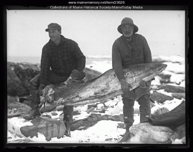 Men carrying a whale fin, Ragged Island, 1927