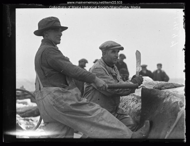 Removing whale blubber, Ragged Island, 1927