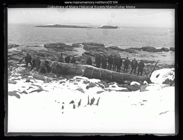 Beached whale on Ragged Island, 1927