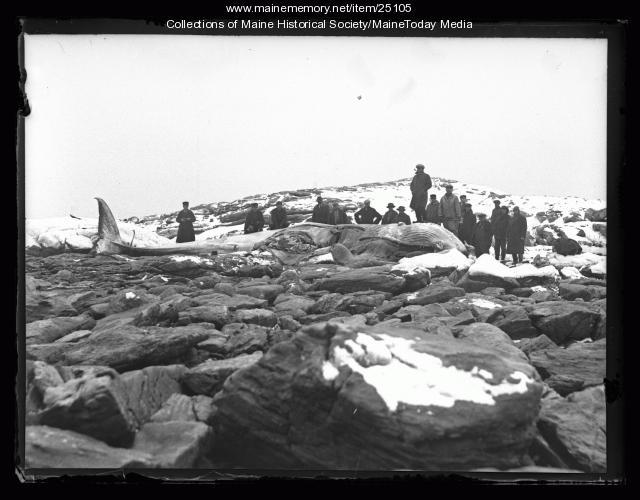 Beached whale, Ragged Island, 1927
