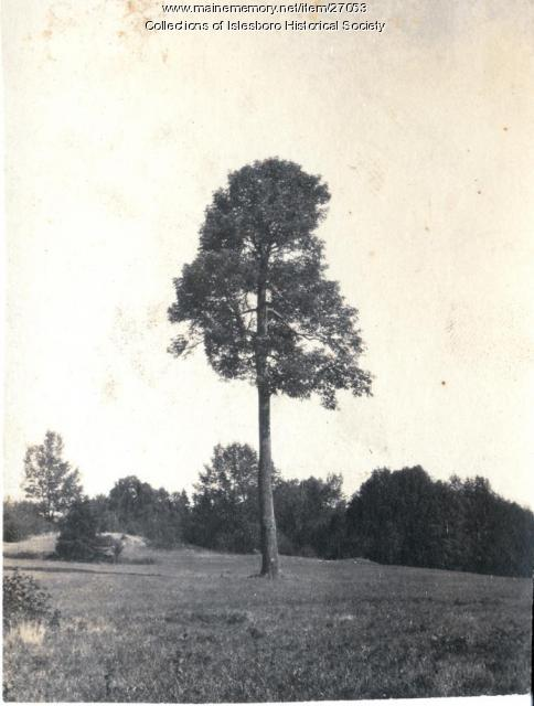 Big Tree, Islesboro, ca. 1920