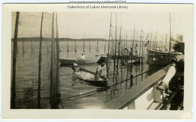 Herring being transported, Lubec, ca. 1930
