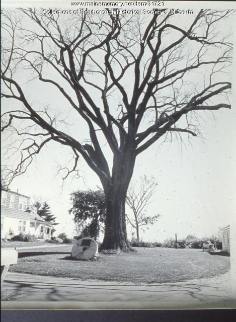 King Elm, Scarborough, ca. 1960
