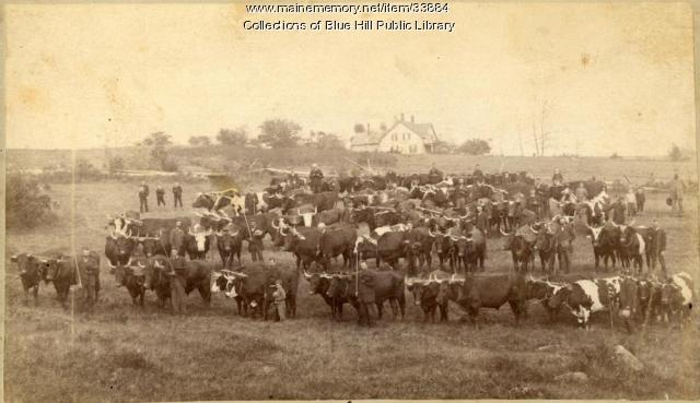 Blue Hill Fair ox teams in Blue Hill village, ca. 1875