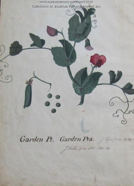 Garden Pea watercolor, Blue Hill, 1810