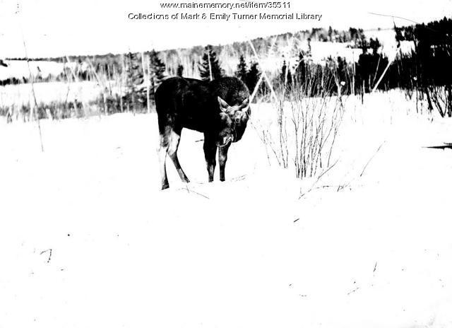 Moose, Aroostook, ca. 1900