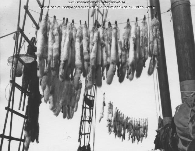 Fox pelts in rigging of 'Bowdoin,' Baffin Island, 1922