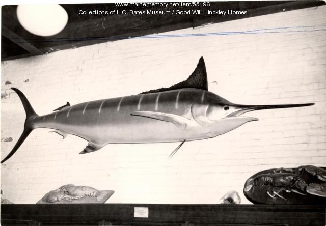 Blue marlin at the L.C. Bates Museum, Fairfield, ca. 1955