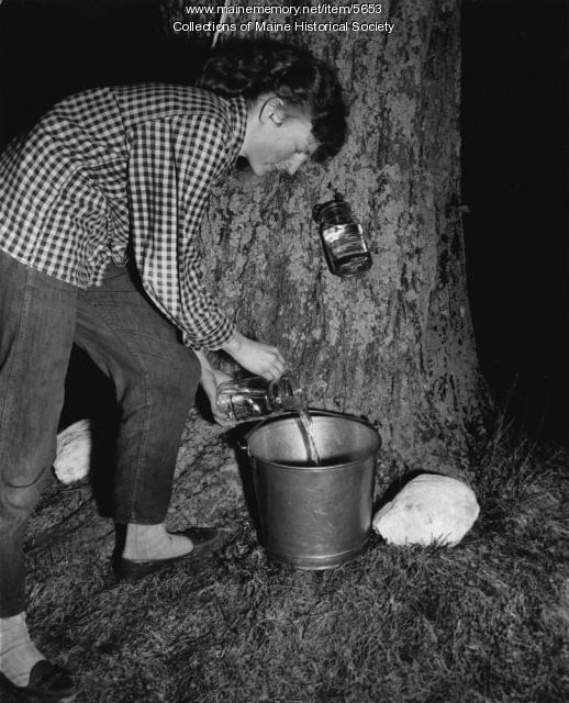 Maple sap collecting, Lyman, 1954