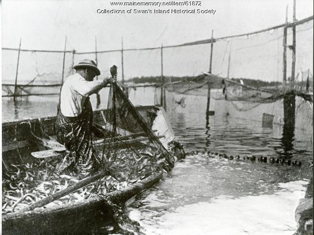 Carl Rowe seining in a weir, Swan's Island ca. 1930