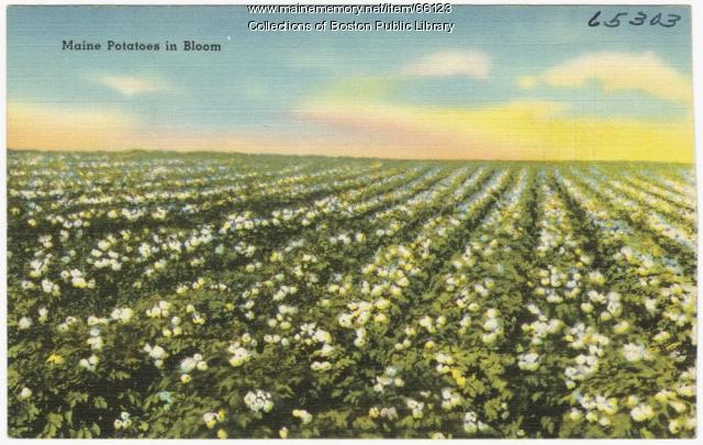 Potato blossoms, ca. 1935