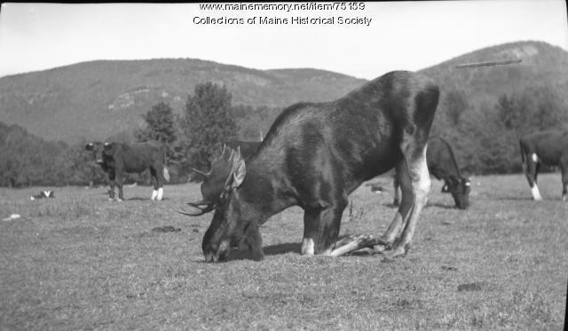 Moose and cows, Stoneham, ca. 1938