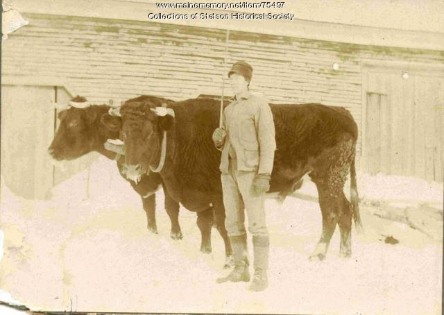 Clyde Rand with oxen, Stetson, ca. 1902