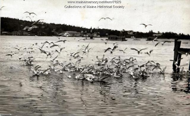Gulls off a Boothbay fish wharf