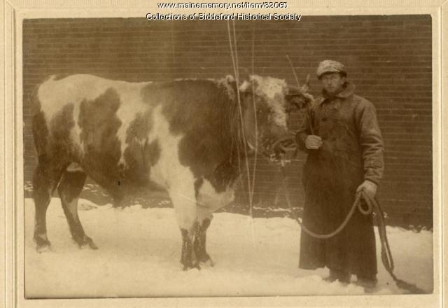 Gilman Deering and his cow, Saco, ca. 1900