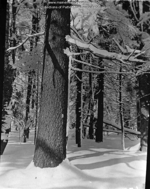 Spruce woods in winter