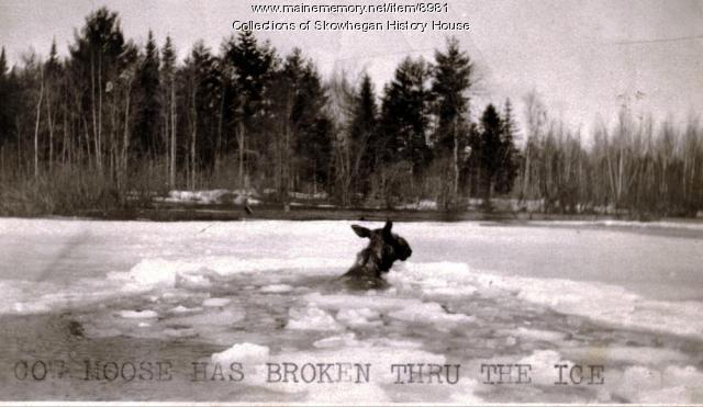 Cow Moose Has Broken Thru the Ice, Skowhegan, ca. 1920