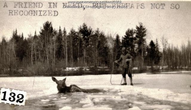 Moose in river, Skowhegan, 1920